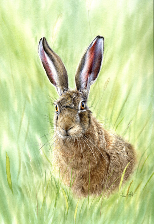 Brown Hare in Spring